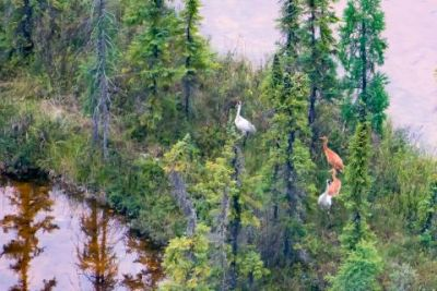 Wood Buffalo National Park reports record number of whooping crane fledglings
