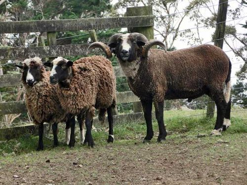 New Zealand's five rare feral sheep breeds