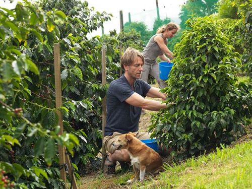 Growing coffee plants in New Zealand's temperate climate and how to roast fresh beans