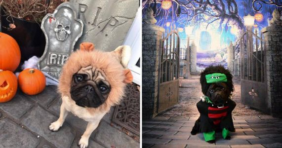 You can spend your Halloween in a cafe surrounded by pugs and what's not to love?