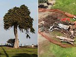 San Diego's 'Lorax Tree' falls: 100-year-old cypress that inspired Dr Seuss's story has toppled