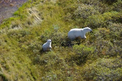 Previously stable population of polar bears now in decline, study finds