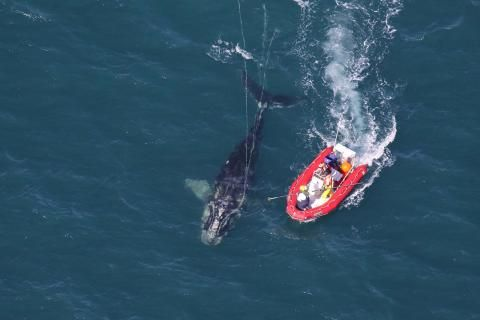 New fishing rules aim to protect Gulf of St. Lawrence right whales