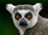 20 million year old primate jaw bones show that lemurs came to Madagascar much later than thought