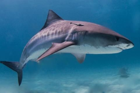 Get to know Canada's shark species