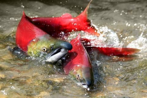 Wild salmon restoration and protection projects receive funding