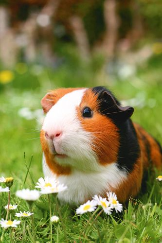 Why guinea pigs could help control the weeds and grass on your block