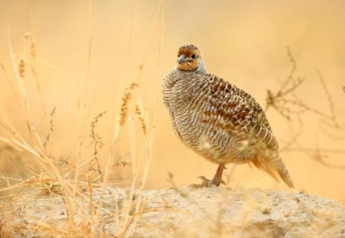 Top 25 Wild Bird Photographs of the Week: Gamebirds