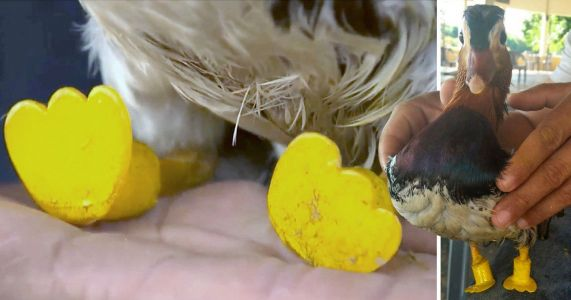 Duck who had both feet severed is learning to swim again thanks to his tiny boots