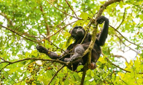 Close encounters: How you can spend a day with chimps in Uganda