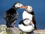 Dramatic dip in Puffin numbers has begun to reverse, scientists say