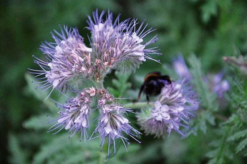 Plant phacelia to attract beneficial insects to your garden