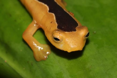 Salamander Rediscovery Gets Search for Lost Species Off to Promising Start