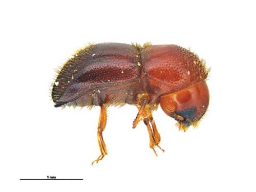 Everything you need to know about New Zealand's new arrival, the ambrosia beetle