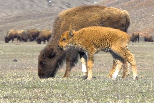 This Video of Baby Bison in South Dakota Will Brighten Your Day
