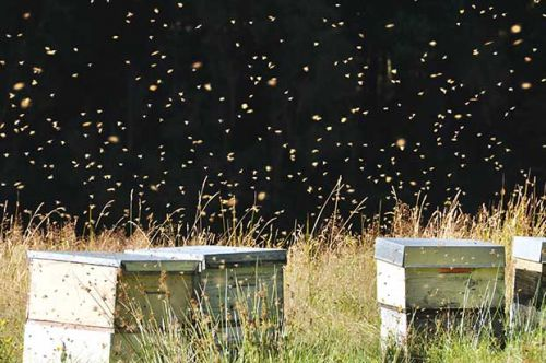 Sheryn Clothier: 'Does New Zealand have too many hives and not enough bee food?'