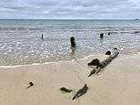 Wrecks of three ships lost during a violent storm in 1893 are revealed by low tides in Cornwall
