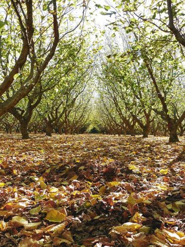 How the Horwells are cracking the fresh nut growing business in Blenheim