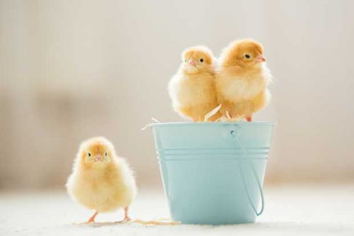 9 common mistakes to avoid when raising chicks