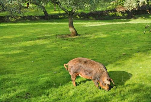 20+ low cost pig feed options to help grow tasty pork