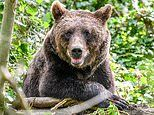 European brown bears are back in the UK