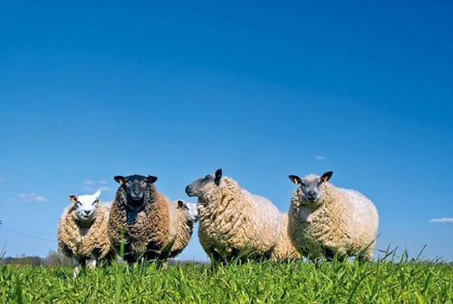 Farming through the summer: Beating facial eczema in sheep the old-fashioned way