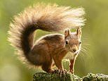 Trees delivered as part of Mail's campaign to boost UK's greenery will be lifeline for red squirrels