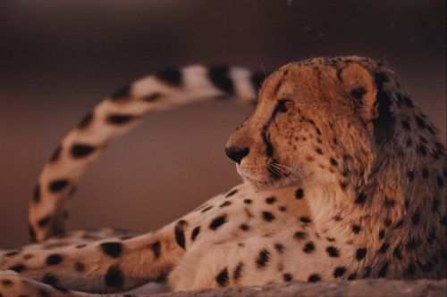 Cheetahs: Fast facts about world's fastest cat