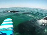 Stand-up paddle boarder bumps into a pod of migrating whales surfacing off Australia's east coast
