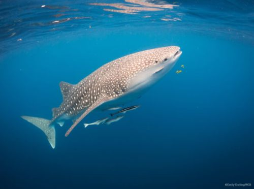 Sharks and Rays: Migratory Species with a Story Worth Telling