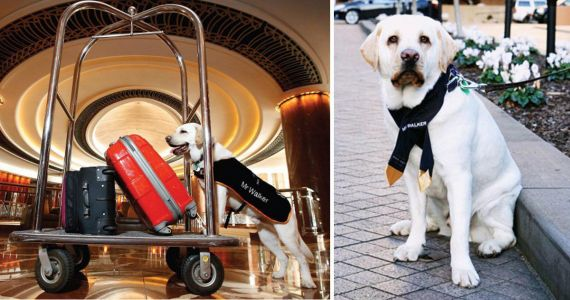 Noble Labrador is hired to be this hotel's dog concierge
