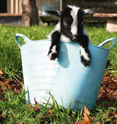 Introducing New Zealand's newest and tiniest breed of dwarf goats