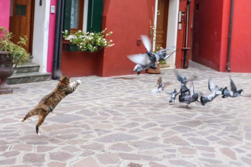National Sport of Burano: Cat Hunting Pigeon