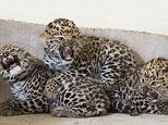 Three rare Amur leopard cubs get vaccination jabs in UK