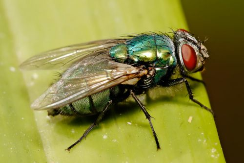 Crime-Solving Insects Threatened by Climate Change