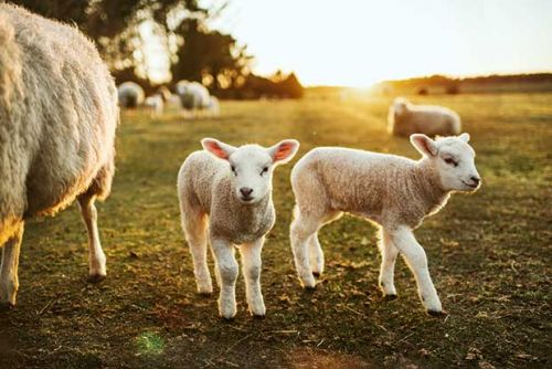 Veterinarian and romance writer Danielle Hawkins reveals her not-so-glamourous guide to raising lambs