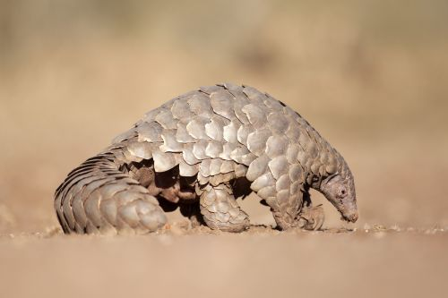 7 places to see pangolins in Africa