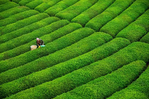 How much do you know about the world's tea plantations?