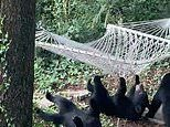 Three bear cubs tip each other on to the ground as they try to struggle to get into a hammock