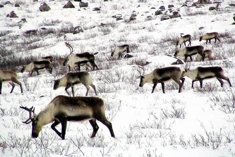 The plan to save the N.W.T.'s dwindling Bathurst caribou herd