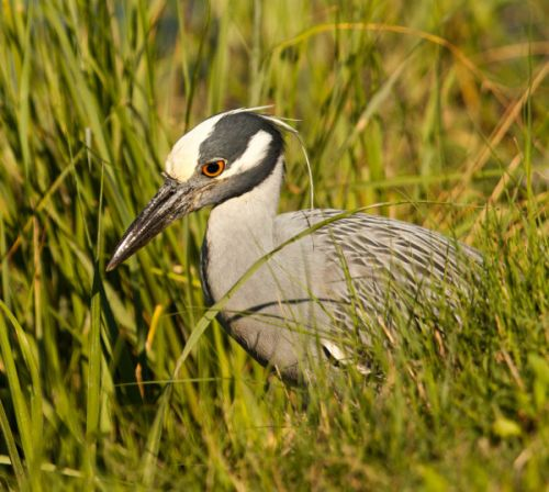 Stirrings in the Muck: Fiddler Crabs, Yellow-Crowned Night Herons Locked in Climate Change Dance