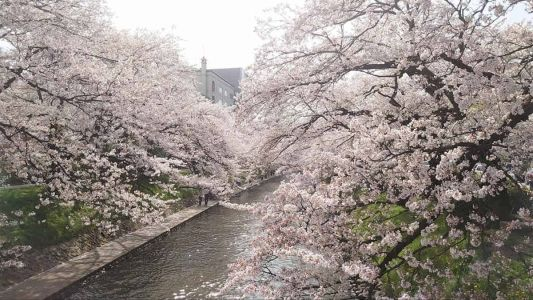 Springtime in Japan: 10 Best Places to See Cherry Blossoms