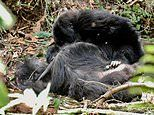 Incredible footage reveals how gorillas grieve for dead relatives just like humans