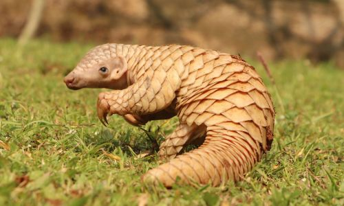 Pangolin conservation in South Africa