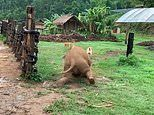 Clumsy baby elephant trips up while playing with his doggy friend in adorable video