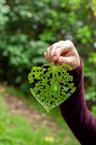 3 ways to use kawakawa