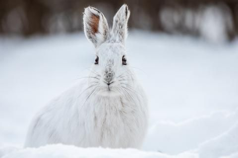 """Wildlife Wednesday: hardy hares, symbolic bears and a """"Bigg"""" whale find"""