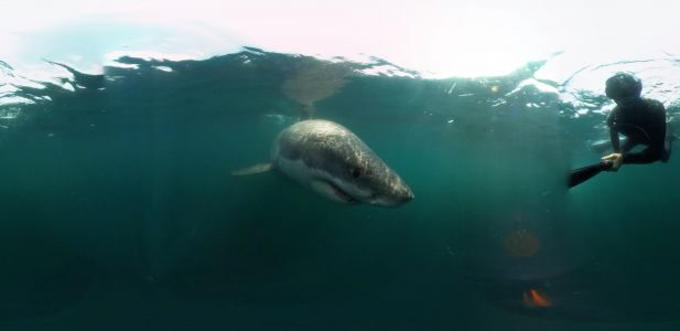360˚VR - Encounter with Great White Shark in Stellwagen Bank National Marine Sanctuary