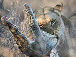I'll eat it roar: Lioness feasts on a crocodile after gripping its head between her powerful jaws