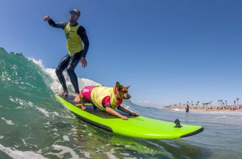 The dogs at the ninth annual Surf City Surf Dog event can probably surf better than you